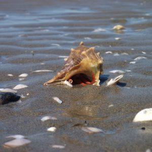 Pagurus bernhardus (bernard-l'ermite), Plage de Faraman - Camargue