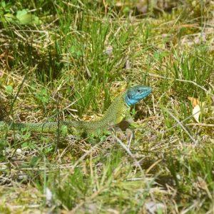Lézard vert ou Limbert (Lacerta viridis), printemps sur le Causse du Larzac (La Couvertoirade)