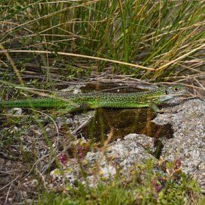 Lézard vert des souches - Massif de l'Aigoual
