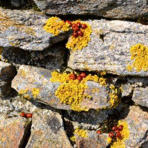 Coccinelles - Le printemps, Puech Monseigne, 1 128 m d'altitude, le Lévézou en Aveyron