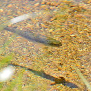 """truite fario"" (ruisseau de la Dourbie - Mt Aigoual)"