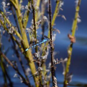 """libellule """"Odonata"""" (berges du Lac de Vézoles - 34)"""