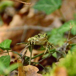 petite grenouille de sous-bois (Causses du Quercy)