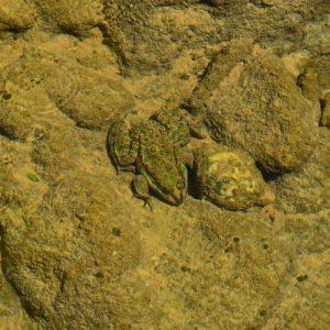 mimétisme de la grenouille verte - Gorges de la Vis
