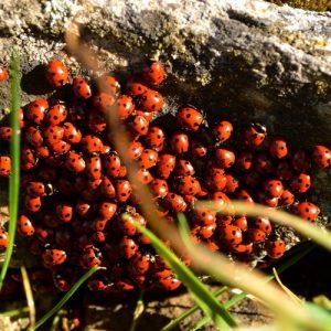 amas de coccinelles au printemps, Puech Monseigne