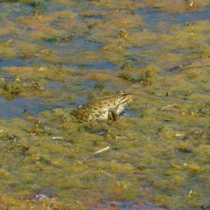 grenouille verte (Lac du Salagou - 34)