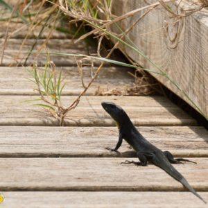 le lézard noir (Vendres plage - Hérault)