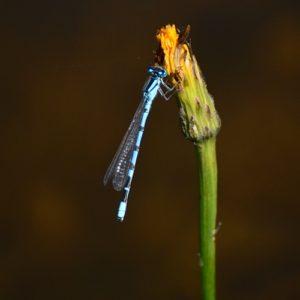 "libellule ""Odonata"""