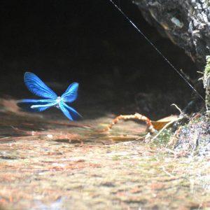 """""""Demoiselle"""" (femelle etmâle)... dans les Gorges de la Jonte (Aveyron)"""