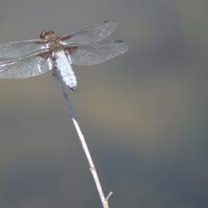 "libellule ""depressa"" - Lac du Laouzas"