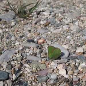 L'Argus vert - berges de de la Vis