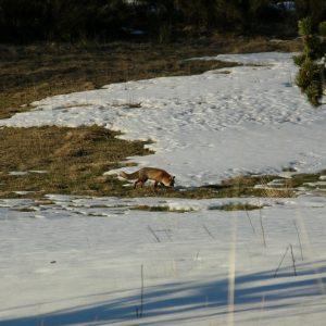 Maître renard... Sources de la Dourbie, mont Aigoual
