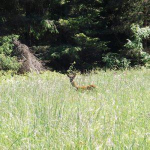chevreuil dans le Lévézou - Aveyron