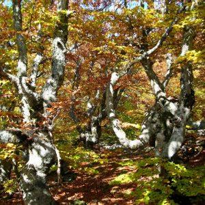 """hêtraie - """"La Grande Forêt"""" - Mt Lozère"""