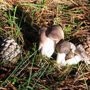griset ( tricholome terreux) Causse de Blandas - Gard