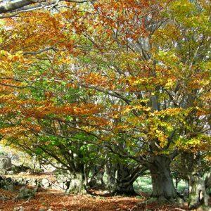hêtres au Bois des Devèzes - Aumessas, Gard