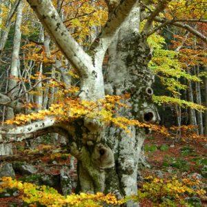 hêtre, Bois des Devèzes - Aumessas, Gard