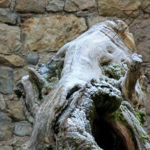 souche ... (Peyreleau, Aveyron)