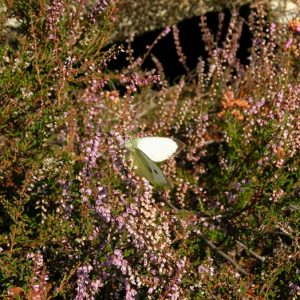 Pieris dans les bruyères, Mt du Bougès (Cévennes) fin août