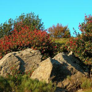 buisson de houx - Campatour, (Aumessas, Massif de l'Aigoual)