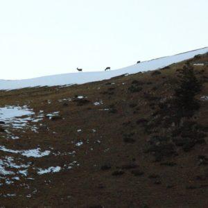 cervidés au crépuscule, Montagne de sèves 1750m. (Haut-Luchonnais)