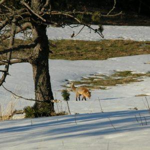 Le renard - Dourbie, mont Aigoual