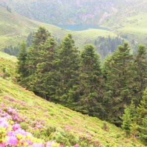 rhododendrons à Port de Pierrefite (1855m.) Haut Luchonnais
