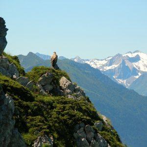 vautour fauve au Pic de l'Escalette (1856m.)