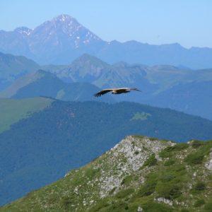 vautour fauve au dessus du Pic du Gar, l'Arbizon à l'horizon