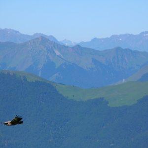 vautour fauve - l'Escalette (Luchonnais)