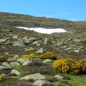 """Mont Lozère, neige et genêts fleuris au printemps - """"Fond du Dentau"""""""