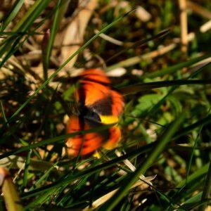 papillon vole, berges de la Dourbie (Mt Aigoual)