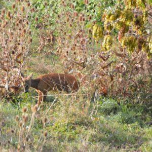 chevreuil, clairière au bas de Montjaux - 12