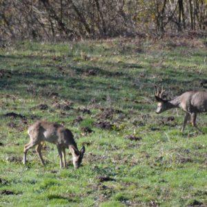 chevreuils, clairière au bas de Montjaux - 12