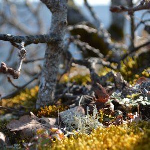 mousse et lichen ... (Causse Méjean)
