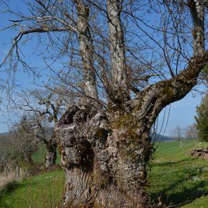 """arbre vénérable, """"la Lézardière"""" - vers la chapelle St Etienne (Vialat-du-Tarn, Aveyron)"""