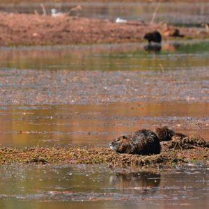 ragondins - Lac du Salagou (34)