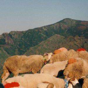 La transhumance devant le mont Aigoual - Les Cévennes