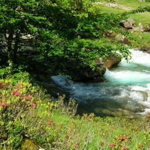 Rhododendrons - Le Gave de Lutour au printemps à 1 358 m, vers Arriou Tort