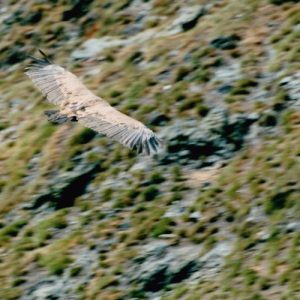 vautour fauve, au Burat