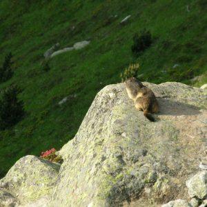 Sur le sentier d'Estibe Aute... Marmotte prenant ses premiers rayons de soleil et se réchauffer les poils...