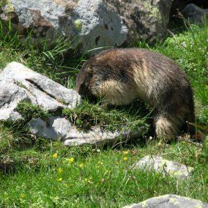 On gratte... Marmotte au poil soyeux