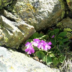 Primula villosa - Jolies petites fleurs de haute altitude comme les gentianes de Koch, ici à 2 700 m