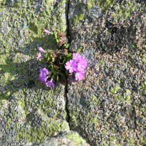 Primula-villosa... dans une faille de roche à Estibe Aute