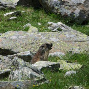Marmotte... Sentinelle aux Oulettes...