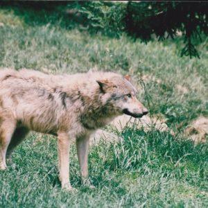 Canis lupus, Pyrénées