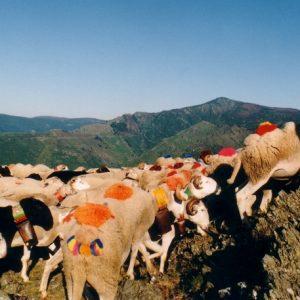 La transhumance devant le mont Aigoual