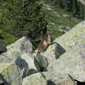 Marmotte... Au-dessus du lac d'Estom...