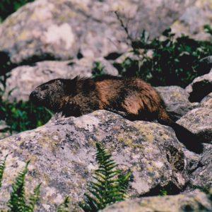 Marmotte des Pyrénées - Lac de Gaube