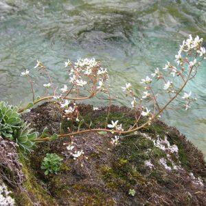 Saxifrage - Sur les berges du Gave de Lutour au début de l'été (vers 1 550 m)
